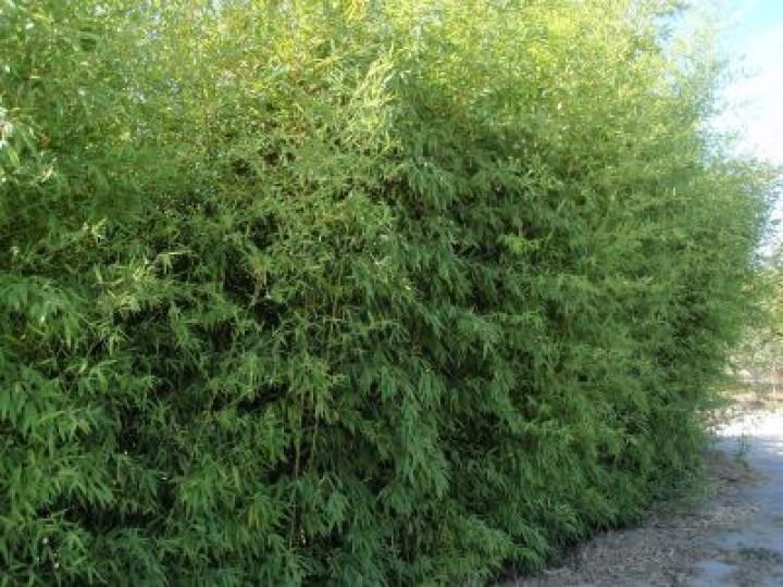 phyllostachys aurea goldrohr bambus mittelhoher bambus. Black Bedroom Furniture Sets. Home Design Ideas