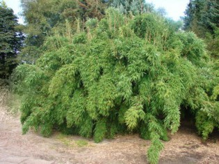 Gartenbambus 'Jumbo', Fargesia murielae 'Jumbo'
