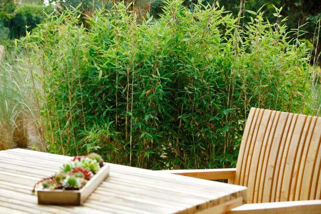 Fargesia Blue Lizard Blauer Drachenschuppenbambus Bambus Und