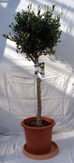 olivenbaum mediterrane pflanzen garten pflanzen bambus und pflanzenshop. Black Bedroom Furniture Sets. Home Design Ideas