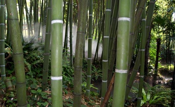 Das Wachstum Und Die Hohe Von Bambus Bambus Wissen Was Ist