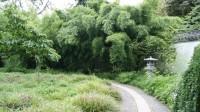 Lieblicher Bambus, Phyllostachys flexuosa