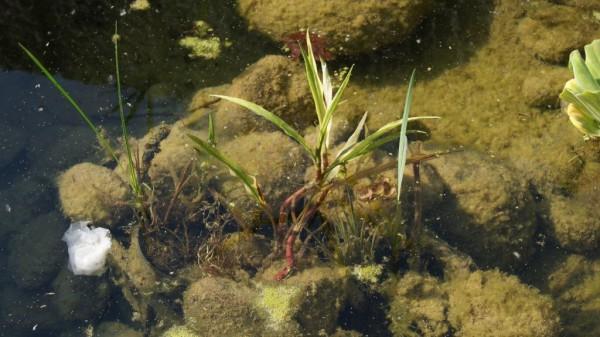 Ranunculus lingua, Sumpfhahnenfuß
