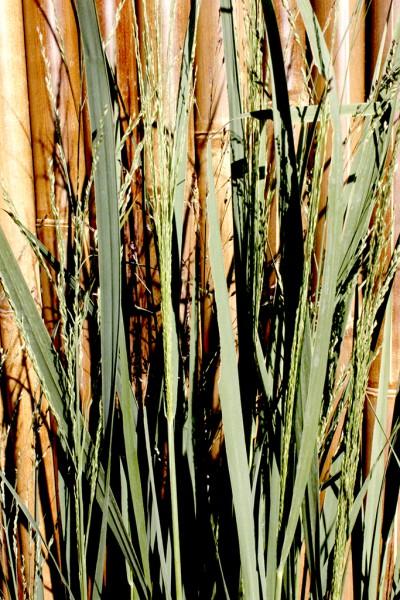Riesen Rutenhirse, Panicum virgatum Northwind