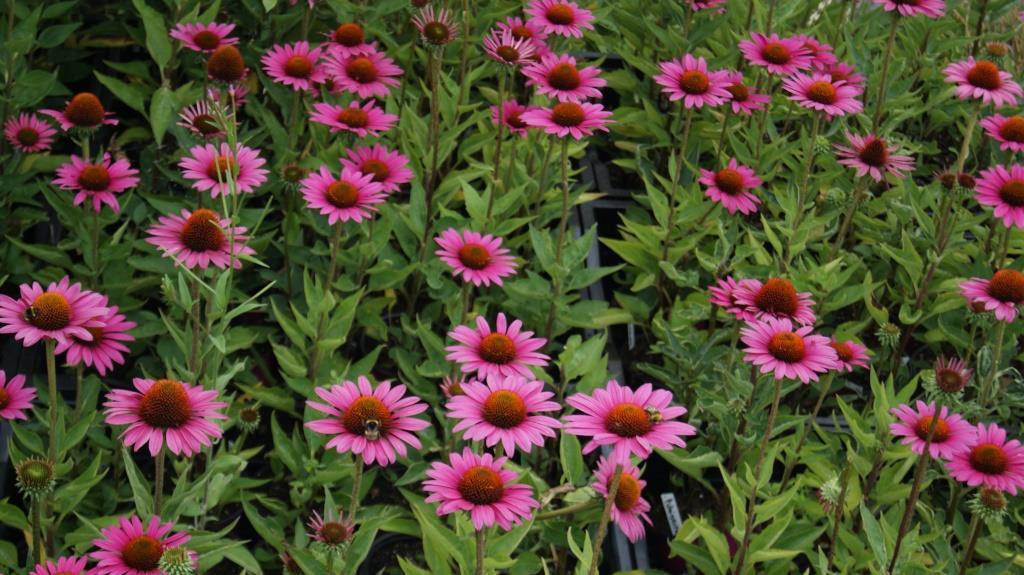 echinacea purpurea the king roter sonnenhut stauden pflanzen garten pflanzen bambuswald. Black Bedroom Furniture Sets. Home Design Ideas
