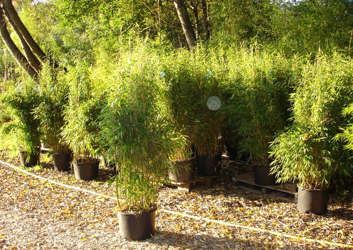 bambus will hoch hinaus - und nicht zu den nachbarn | bambus, Gartengestaltung