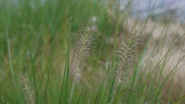 Pennisetum alopecuroides 'Little Bunny', Zwerg-Lampenputzergras