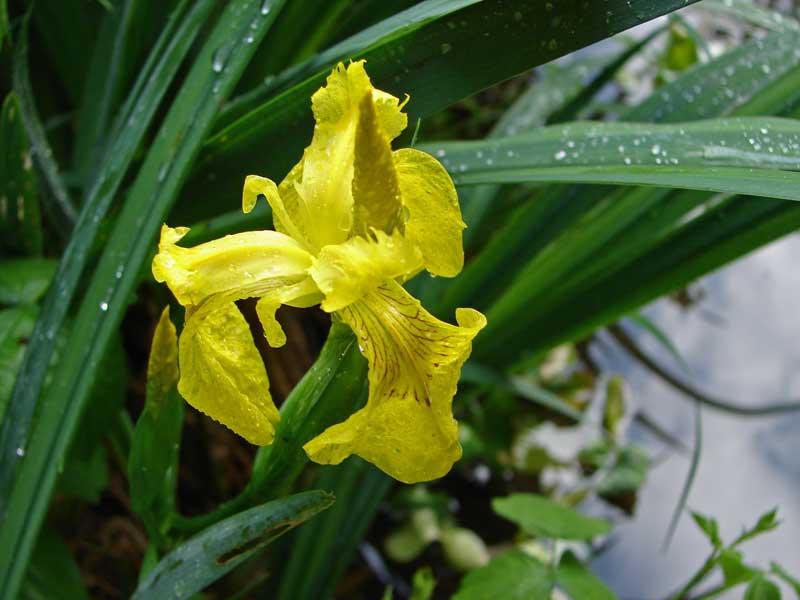 iris pseudacorus wasserschwertlilie teichpflanzen wasser pflanzen bambuswald bambus und. Black Bedroom Furniture Sets. Home Design Ideas