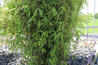 Kugeliger Bambus, Fargesia nitida 'Volcano'
