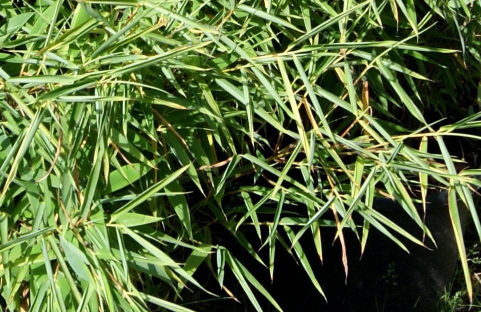 Bambuspflege und tipps bambus pflege bambuswald - Bambus garten pflege ...