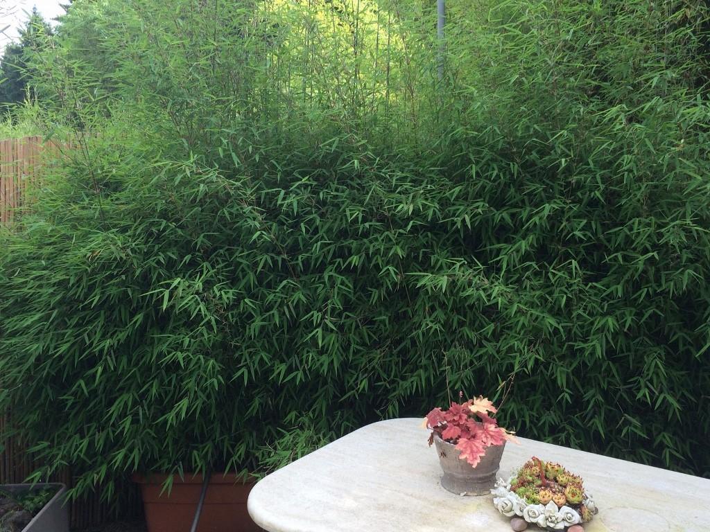 Bambus kaufen Bambuspflanzen als Sichtschutz