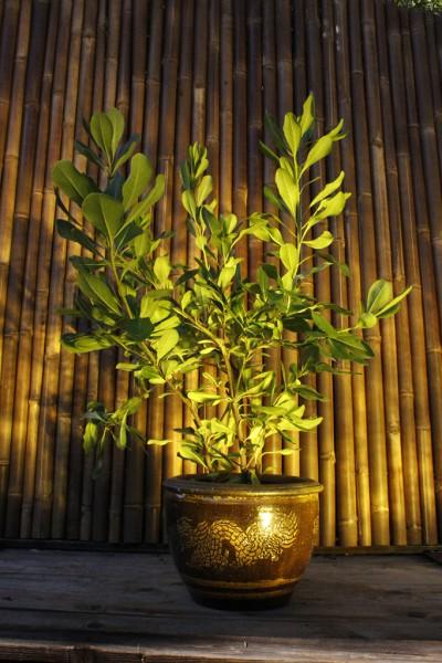 Klebsamen Pflanze - Pittosporum tobira