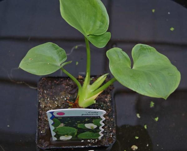 Calla palustris, Sumpfcalla