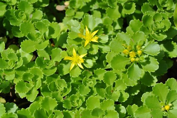 Immergrünchen, Sedum hybridum