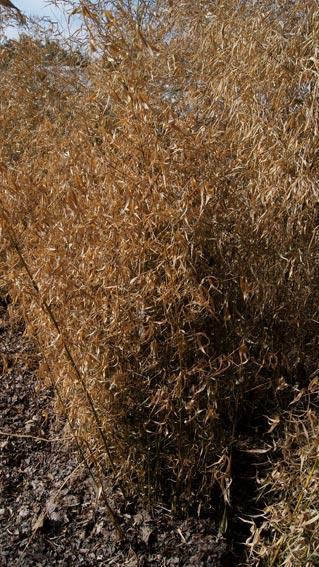 fragesia-robusta-winterschaden250fc0ae065e30