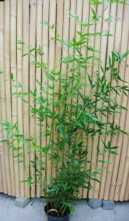 Rauher Gelbrinnenbambus, Phyllostachys aureosulcata