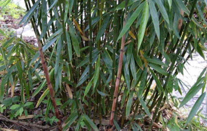 fargesia robusta 39 wolong 39 bambus ohne ausl ufer. Black Bedroom Furniture Sets. Home Design Ideas