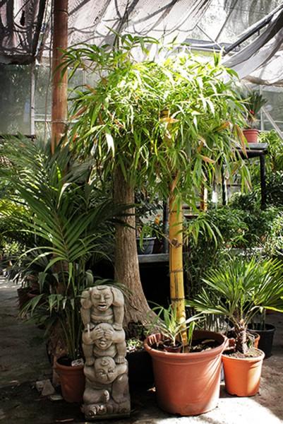 Bambusa vulgaris striata