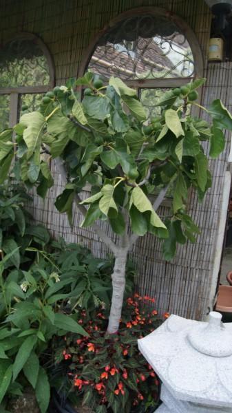 ficus carica feigenbaum mediterrane pflanzen garten pflanzen bambus und pflanzenshop. Black Bedroom Furniture Sets. Home Design Ideas