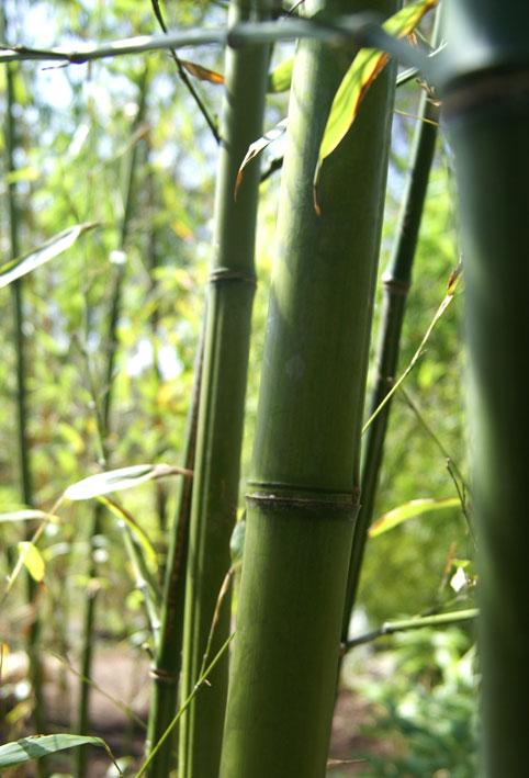 phyllostachys nigra 39 henonis 39 gold haar bambus bambuswald bambus und pflanzenshop f r haus. Black Bedroom Furniture Sets. Home Design Ideas