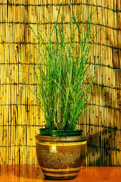 Gartenchinaschilf, Miscanthus sinensis 'Kleine Silberspinne'