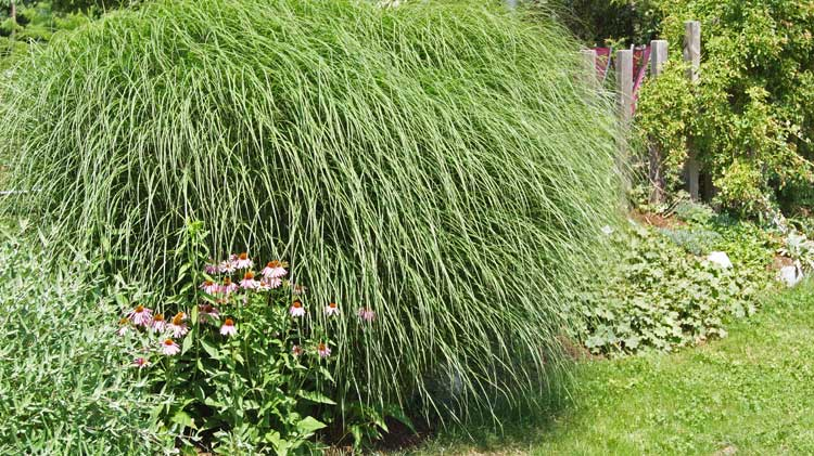 miscanthus sinensis 39 gracillimus 39 chinaschilf gr ser. Black Bedroom Furniture Sets. Home Design Ideas