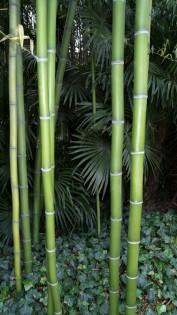 Eleganter Bambus, Phyllostachys vivax `Mc Clure'