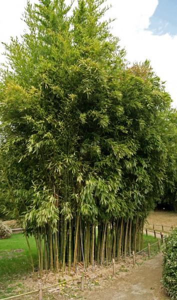 phyllostachys atrovaginata, schwarzer knospenbambus   bambus und,