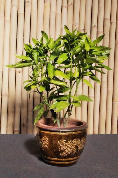 Japanische Aukube - Aucuba japonica