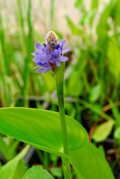 Pontederia cordata, Hechtkraut
