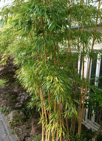 phyllostachys vivax 39 aureocaulis 39 zauber bambus hoher bambus bambus pflanzen bambuswald. Black Bedroom Furniture Sets. Home Design Ideas