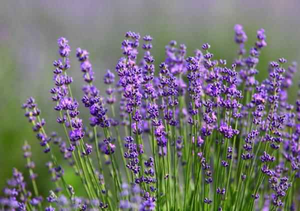 Echter Lavendel, Lavendula angustifolia Hidecote