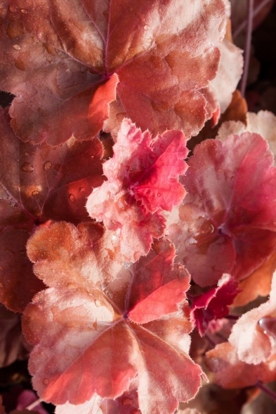 Heuchera- Purpurglöckchen- Timeless Orange