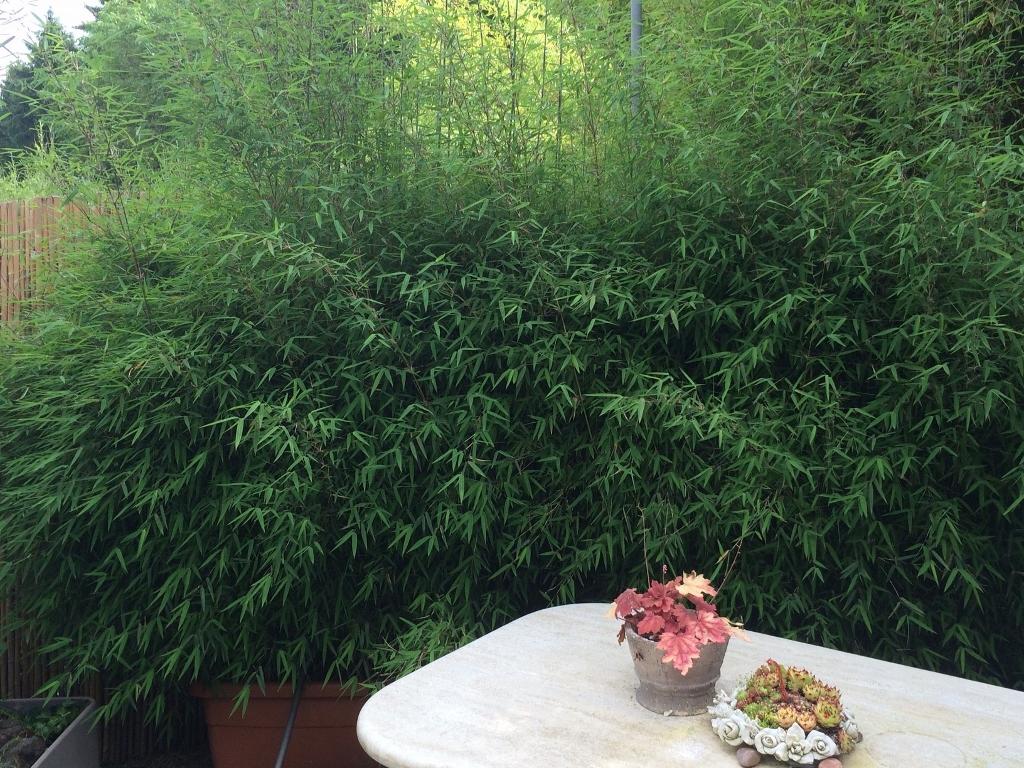 fargesia jiuzhaigou rothalmiger schirmbambus bambus ohne ausl ufer fargesia bambus bambus. Black Bedroom Furniture Sets. Home Design Ideas