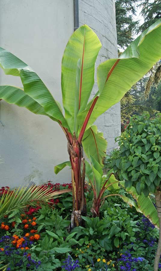 musa ensete ventricosum rote zierbanane palmen bananen bambuswald bambus und pflanzen. Black Bedroom Furniture Sets. Home Design Ideas