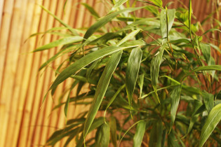 Gelber Vierkantbambus, chimonobambusa quadrangularis tatejima
