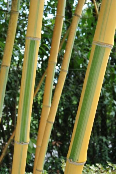Golden Brillant Bambus, Phyllostachys bambusoides 'Castillonis'