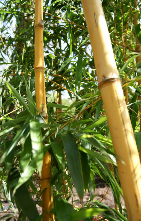 phyllostachys-vivax-aureocaulis-bambuswald-250e5988a0b2bc50f97467a5b64