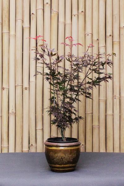 Japanischer Fächerahorn - Acer palmatum