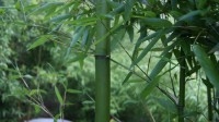 Gold Bambus, Phyllostachys parvifolia