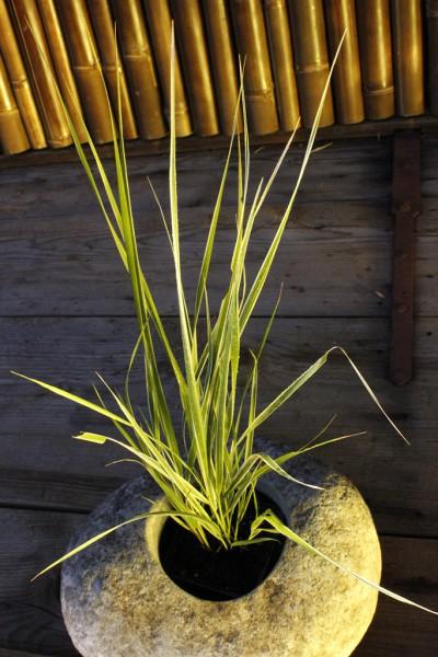 Gestreiftes Reitgras - Calamagrostis acutiflora 'Overdam'