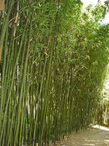 Säulen Bambus, Semiarundinaria fastuosa