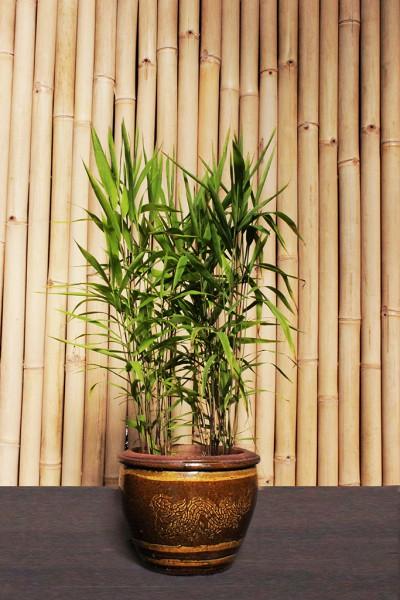 Plattährengras - Chasmanthium latifolium
