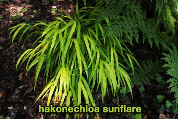 Hakonechloa in Sorten