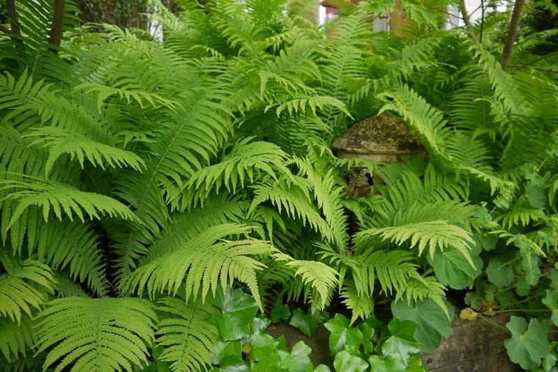 polystichum-setiferum-filigranfarn-bambuswald