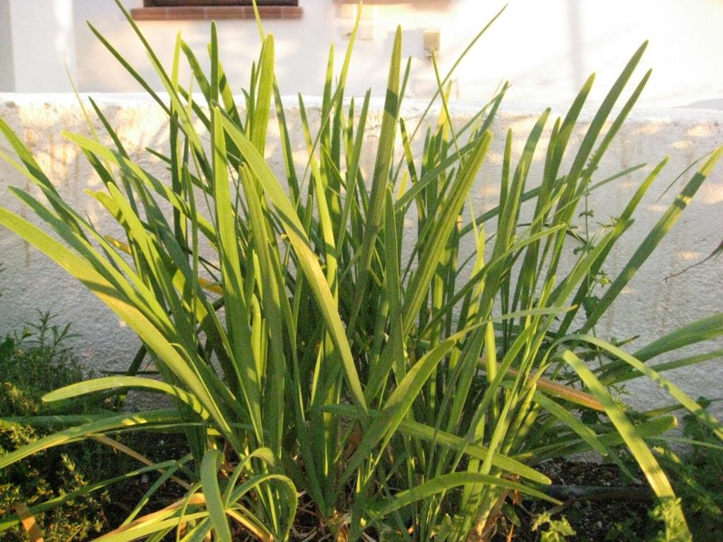 Allium-tuberosum