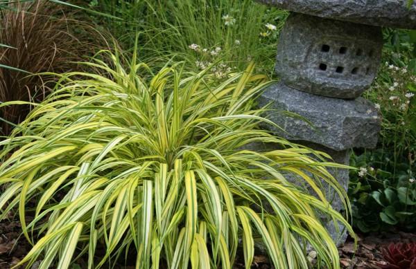 Japanisches Goldbrandgras, Hakonechloa macra 'Aureola'