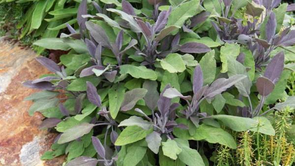 Purpursalbei, Salvia officinalis 'Purpurascens'