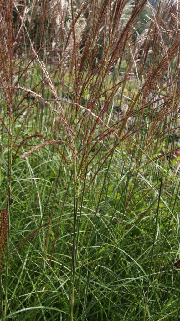 miscanthus sinensis 39 ferner osten 39 gr ser pflanzen garten pflanzen bambus und pflanzenshop. Black Bedroom Furniture Sets. Home Design Ideas