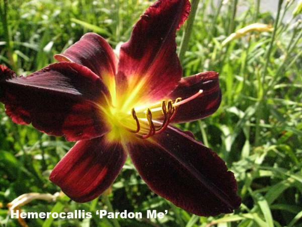 Taglilie, Hemerocallis in Sorten